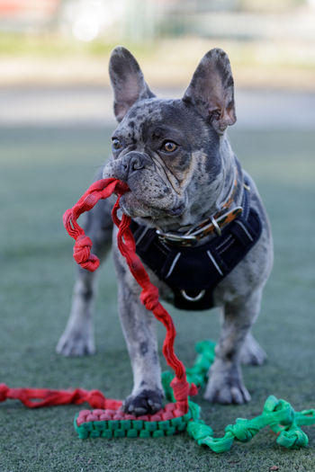 Blue merle frenchie male puppy with toy