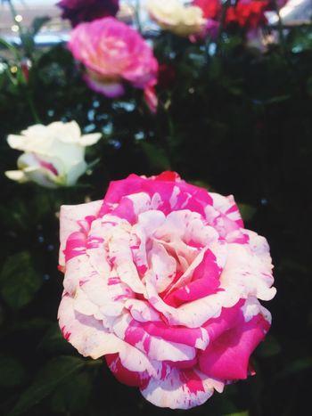 Pink Pink Color Pink Flower Pink Rose Pink Flowers Pink Flower 🌸 Pink Roses Roses Rose - Flower Rose🌹 Roses🌹 Rose♥ Rosé Rose Pink