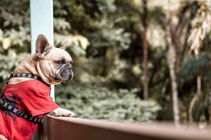 French bulldog looking away