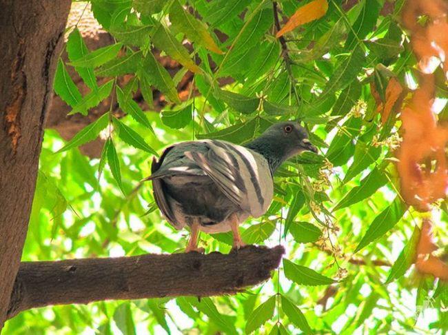 Eye4photography  Bird Photography Bird Lover Pigeon Pigeon Bird  Neem Tree Natural Light No Edits No Filters No Effects Loveit❤❤🐦