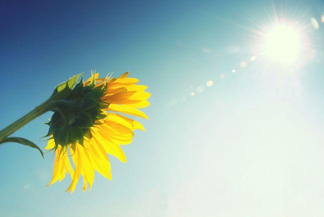 The Essence Of Summer The Essence Of Summer- 2016 EyeEm Awards Sunflower Sun And Sunflower Summer Summer Is Coming Clear Sky Blooming Flower Sunburn Tanned Sunbathe Sunbathing Fresh Real Picture No Retouch Nature Flower Sunblock Sunbeam