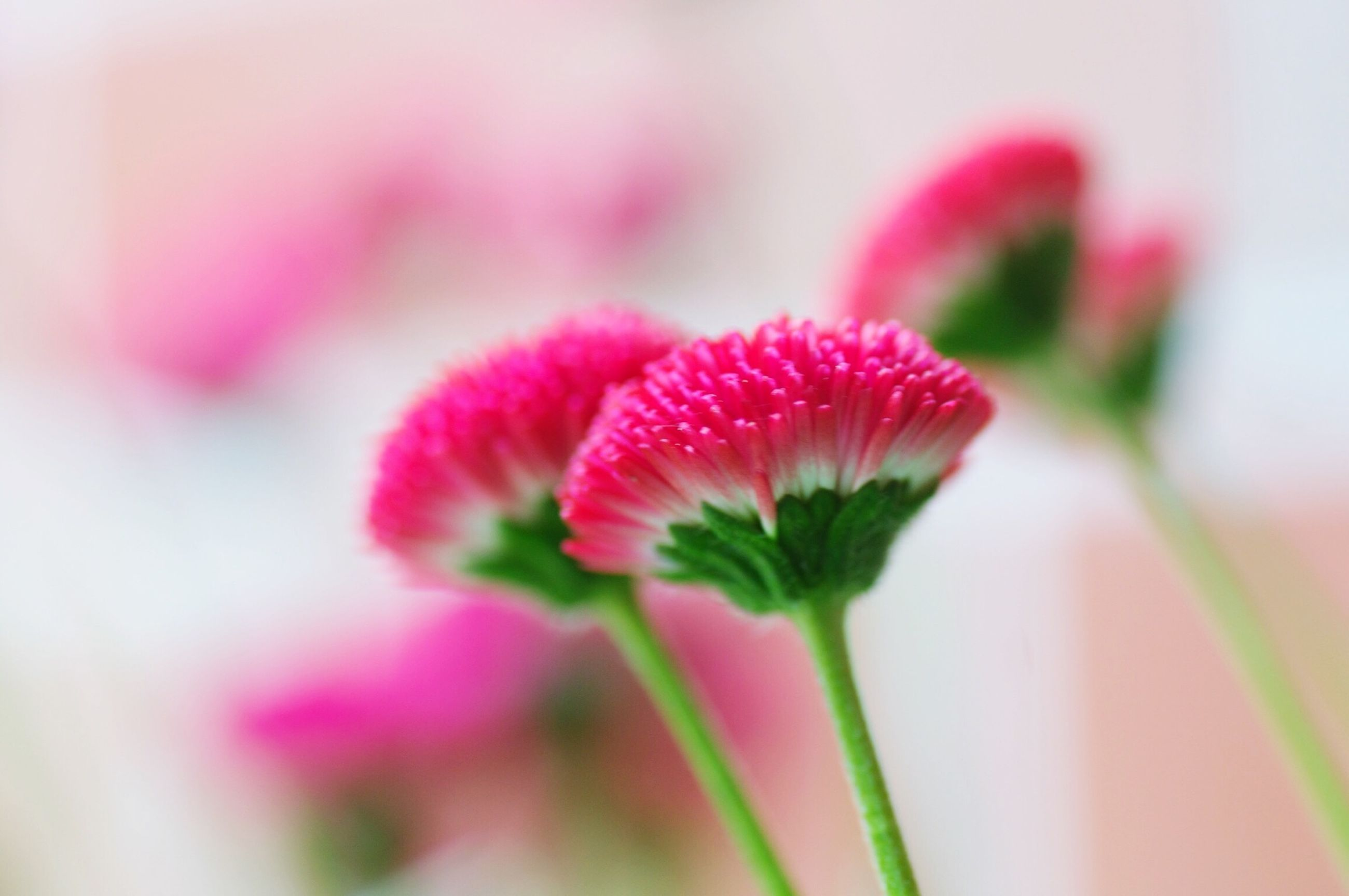 flower, freshness, petal, fragility, growth, close-up, focus on foreground, flower head, beauty in nature, plant, selective focus, stem, red, bud, nature, pink color, blooming, single flower, in bloom, new life