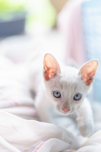 Animal Animal Eye Animal Head  Animal Themes Bed Cat Close-up Domestic Domestic Animals Domestic Cat Feline Focus On Foreground Furniture Indoors  Kitten Looking At Camera Mammal No People One Animal Pets Portrait Relaxation Whisker White Color Young Animal