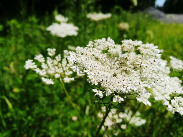 Flower White Color Nature Focus On Foreground Close-up Outdoors Day No People Fragility Plant Beauty In Nature