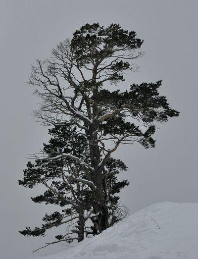 домбай дерево