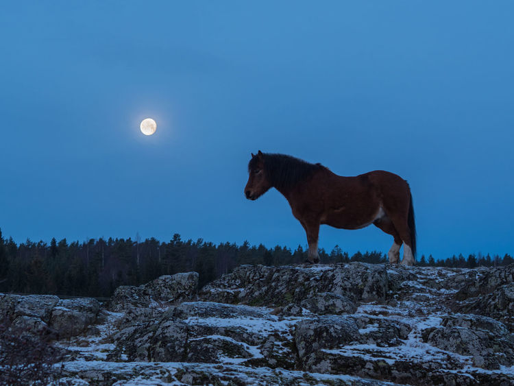 Horse in morning moonlight, at Hasle, Nesoddtangen, Norway Horse In Moonlight Moonlight Horse Moonlit Horse Morning Moonlit Horse Norwegian Horse Scandinavian Horse Animal Themes Beauty In Nature Clear Sky Full Moon Landscape Mammal Moon Nature No People One Animal Scenics Sky Sleeping Horse Snow Tranquility Winter Shades Of Winter
