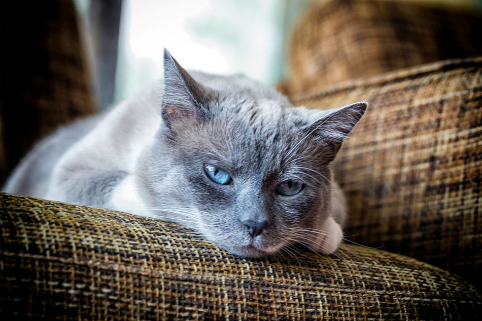 animal themes Animal Themes Close-up Day Domestic Animals Domestic Cat Feline Indoors  Looking At Camera Lying Down Mammal No People One Animal Pets Portrait Whisker