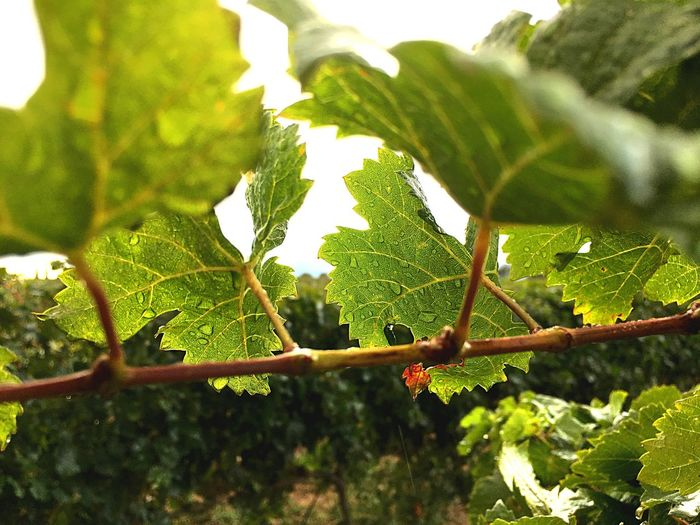 Vine - Plant Wine Winemaking Leaf Growth Nature Plant Green Color Day No People Outdoors Close-up Sunlight Beauty In Nature Tree Branch Agriculture Farm Freshness