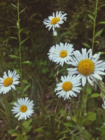 The Great Outdoors - 2017 EyeEm Awards Flower Fragility Petal Freshness Nature Beauty In Nature Daisy No People Outdoors Flower Head Growth White Color Plant Blooming Day Pollen Yellow Close-up Osteospermum
