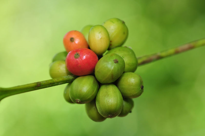 coffee beans Fruit Green Color Healthy Eating Food And Drink Food Freshness Plant Close-up Focus On Foreground Growth No People Nature Wellbeing Red Day Outdoors Plant Stem Selective Focus Plant Part Beauty In Nature Ripe