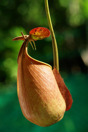 Close-up of pitcher plant