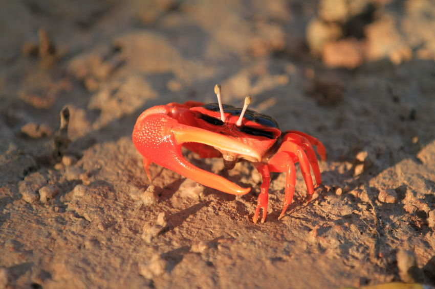 Come any closer and I'll take you out with one claw! Male Flame-backed Fiddler Crab – Willie Creek, Broome Animal Themes Animal Wildlife Animals In The Wild Beach Beauty In Nature Close-up Crab Day Fiddler Crab Hermit Crab Nature No People One Animal Outdoors Red Sand Sea Life