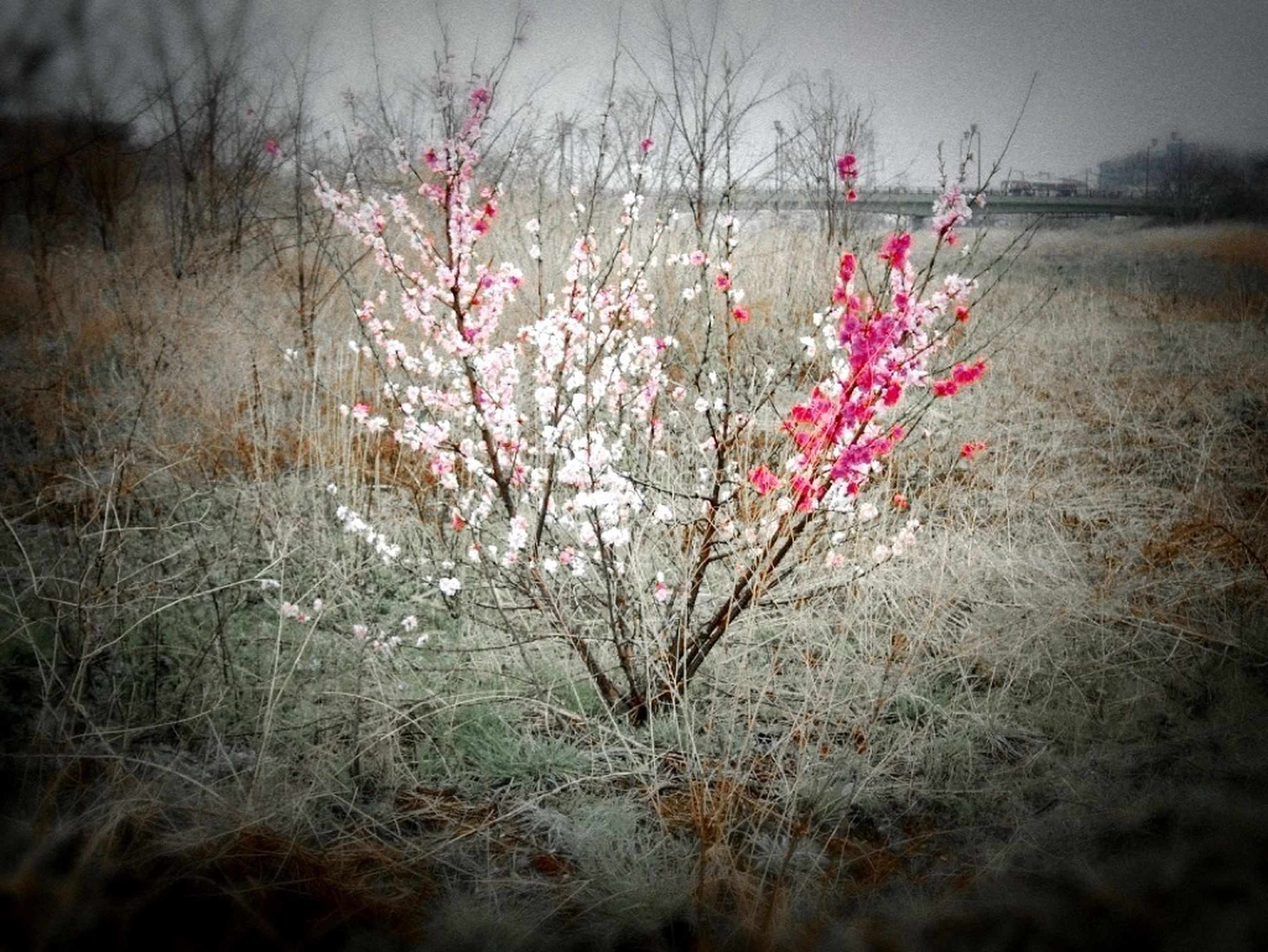 flower, growth, field, beauty in nature, freshness, fragility, nature, plant, red, tranquility, pink color, blooming, petal, focus on foreground, sky, landscape, selective focus, close-up, day, in bloom