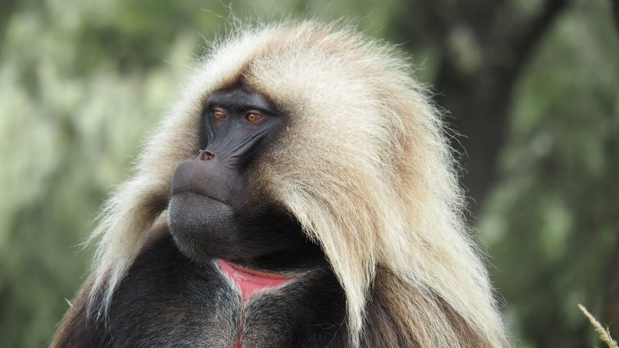 #Ethiopia #animal Primate One Animal Vertebrate Animals In The Wild Focus On Foreground Nature Close-up Baboon