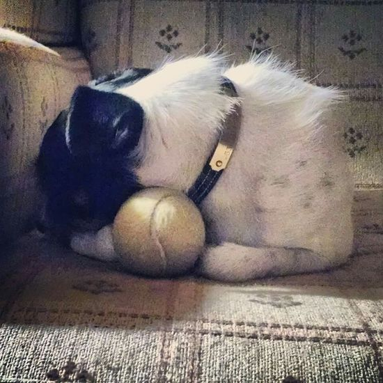 Jackrussell Dogslife Sleeping Dog Jackrussellterrier Jrt Parson Russell Terrier Terrier Dog With A Ball