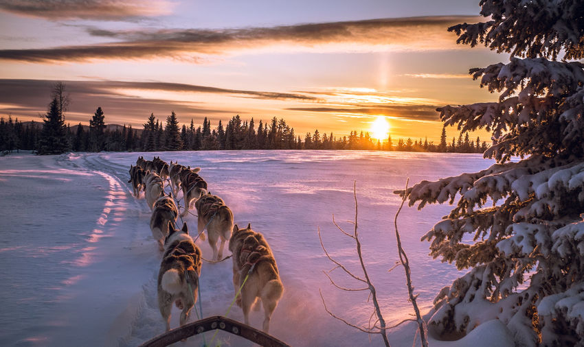 Dogs Pulling Sled On Snow Covered Field Against Sky During Sunset