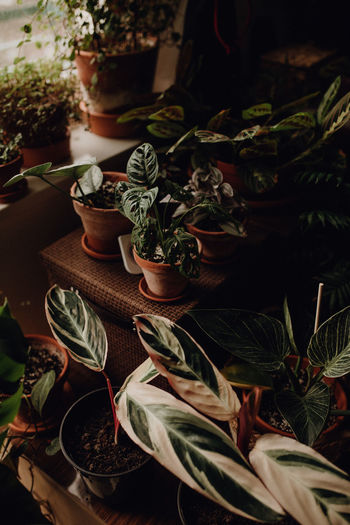 Plants collection in small millenials' rental flat, ceropegia, maranta, monstera, philodendron