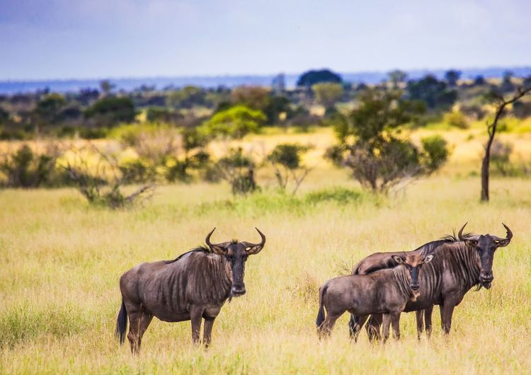 Portrait of wildebeest on land