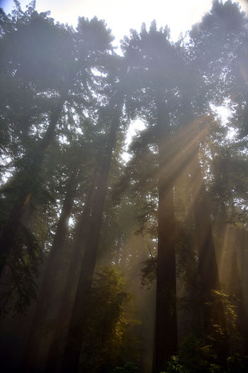 Nature Photography Beauty In Nature Day Forest Growth Landscape_photography Low Angle View Nature No People Outdoors Redwood Trees Scenics Sillouette Sky Sun Rays Sun Rays Through Trees Sunbeam Sunlight Tall Trees Tranquil Scene Tranquility Tree Tree Trunk