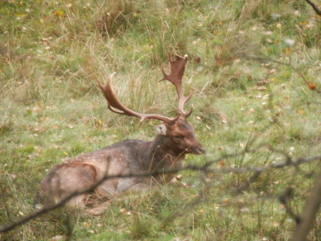 Antler Animals In The Wild Deer Animal Themes Animal Wildlife One Animal No People Stag Day Mammal Nature Grass Tree Outdoors Plant Forest Resting In The Woods Sleepy Beauty In Nature EyeEmNewHere Rutting Stags Rutting, Herd Animal Ruttingseason Deer