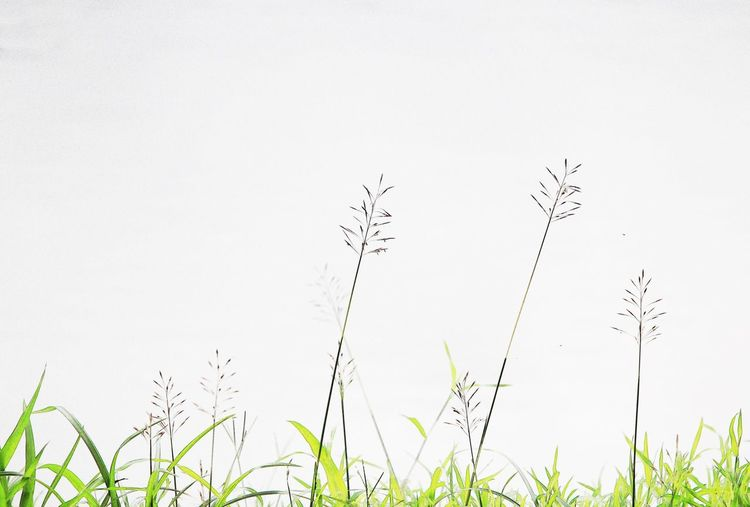 wild flowers background Plant Growth Copy Space Sky Nature Beauty In Nature No People Day Grass Land Field Tranquility Clear Sky Green Color Outdoors Freshness Flower White Color Flowering Plant Environment