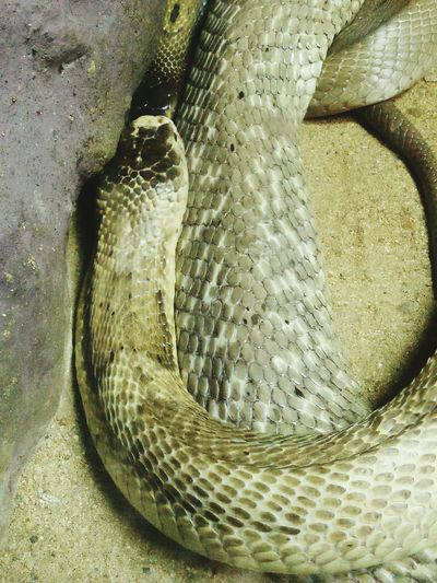 No People Day Close-up Travel Thailand Zoo Tourism Relax Snake Skin Cobra Danger Texture Education