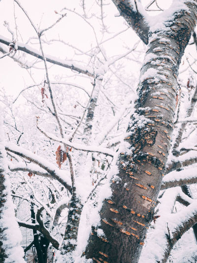 Low angle view of snow covered bare trees in forest