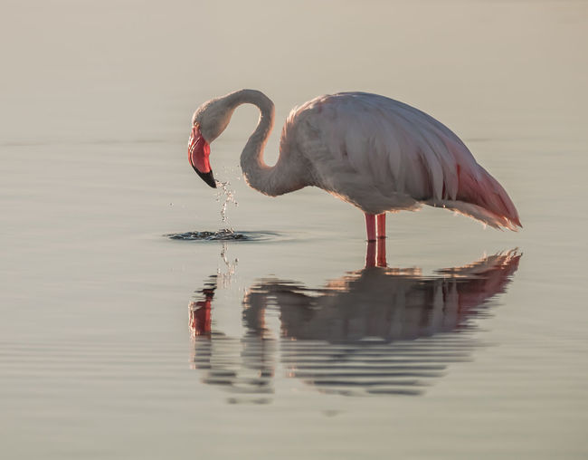 Side View Of Flamingo With Reflection