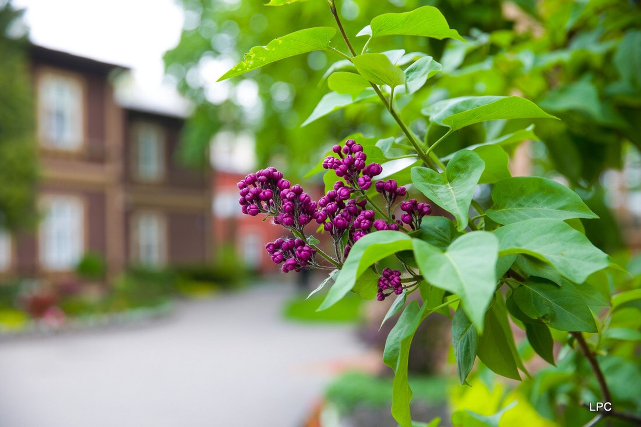 plant, flowering plant, flower, growth, vulnerability, leaf, fragility, plant part, freshness, focus on foreground, beauty in nature, close-up, nature, day, selective focus, no people, outdoors, pink color, building exterior, house, flower head, purple