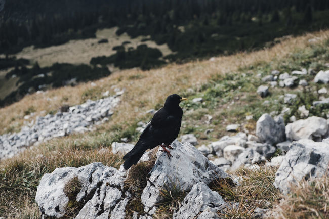 Germany Alps Amsel Animal Animal Themes Animal Wildlife Animals In The Wild Bird Birds Black Color Day Field Focus On Foreground Full Length Grassland Land Nature No People One Animal Outdoors Perching Rock Rock - Object Solid Stone Vertebrate First Eyeem Photo EyeEmNewHere