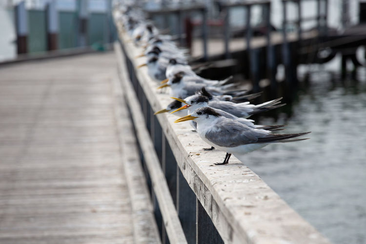 Animal Vertebrate Animal Themes Animal Wildlife Bird Animals In The Wild One Animal Railing Day Architecture Seagull Focus On Foreground No People Built Structure Outdoors Nature Footpath Selective Focus Perching Concrete Western Australia