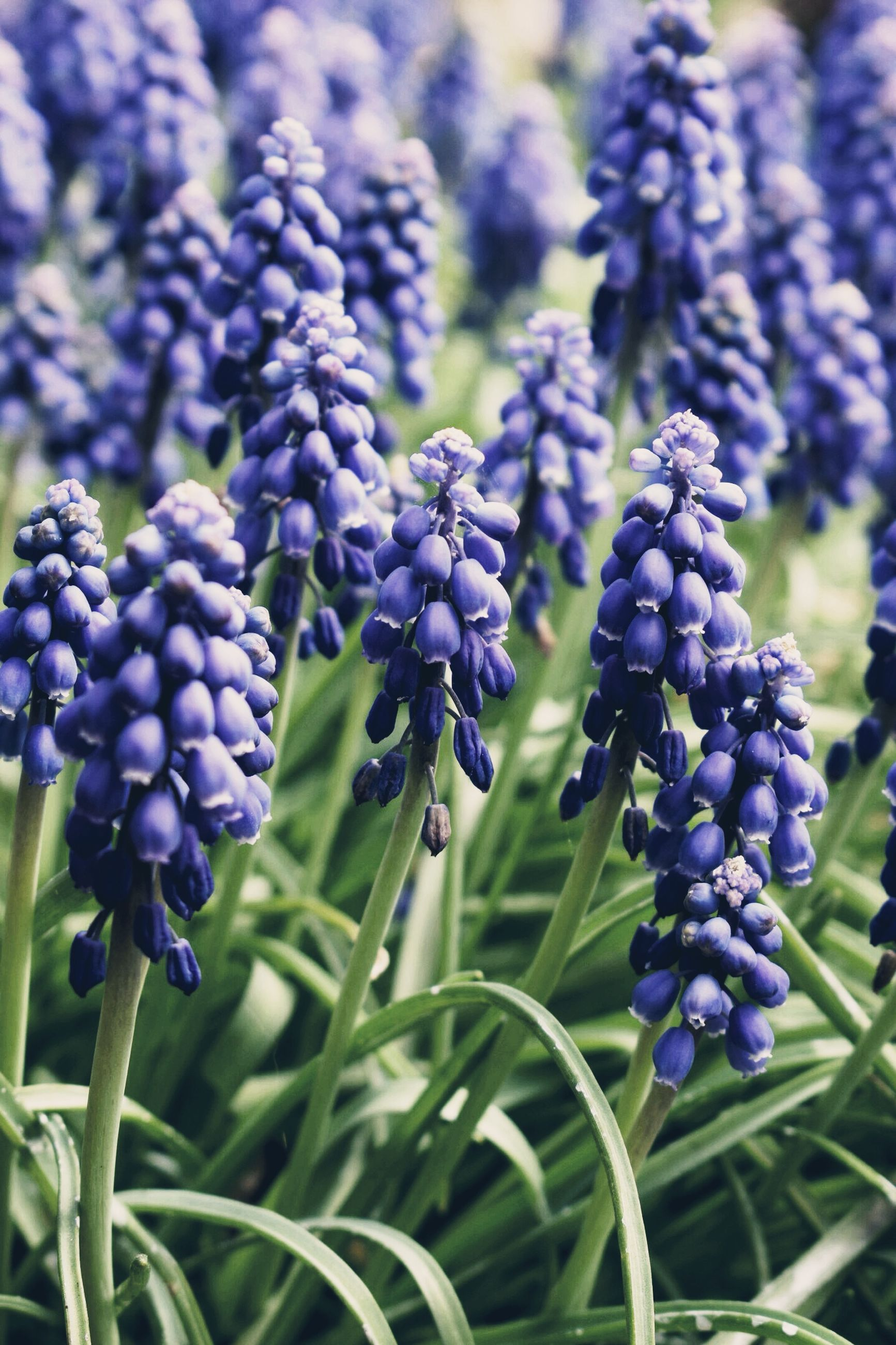 flower, plant, flowering plant, purple, freshness, growth, vulnerability, fragility, beauty in nature, close-up, hyacinth, nature, plant stem, no people, day, petal, lavender, focus on foreground, field, flower head, springtime, bunch of flowers