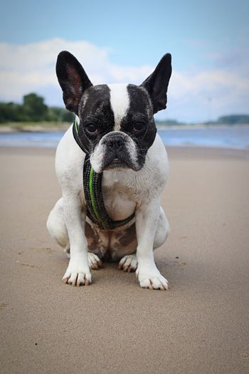 Portrait Pets Dog French Bulldog Frenchbulldog Französische Bulldogge  Grumpy Grumpydog Grumpy Face Mood Moody Awww So Cute <3 Pet Portraits