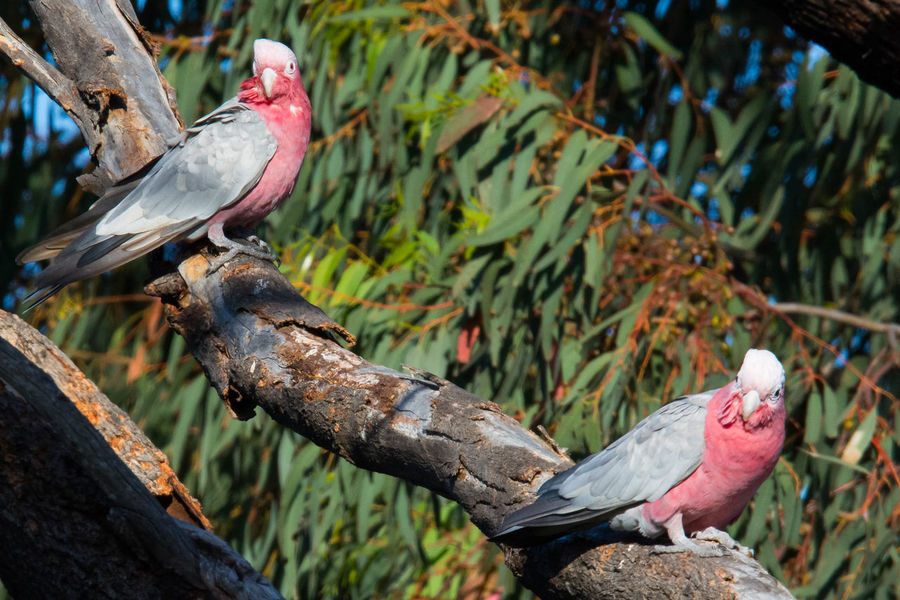 Gazisonit Galah Pink Grey Animal Themes Animal Wildlife Animals In The Wild Bird Close-up Day Focus On Foreground Nature No People Outdoors Perching Tree