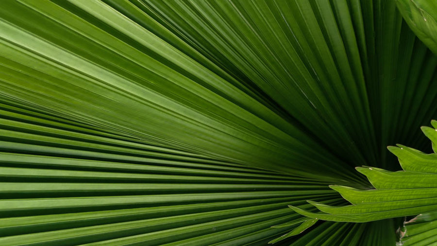 Full frame shot of palm tree leaves