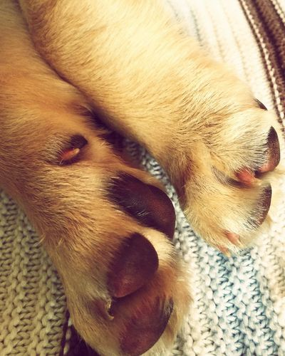 Puppy Paws Labrador Animal_collection Miltonbiscuit