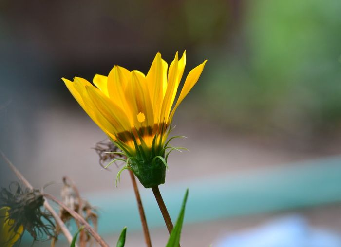 Close-up of yellow gazania blooming outdoors