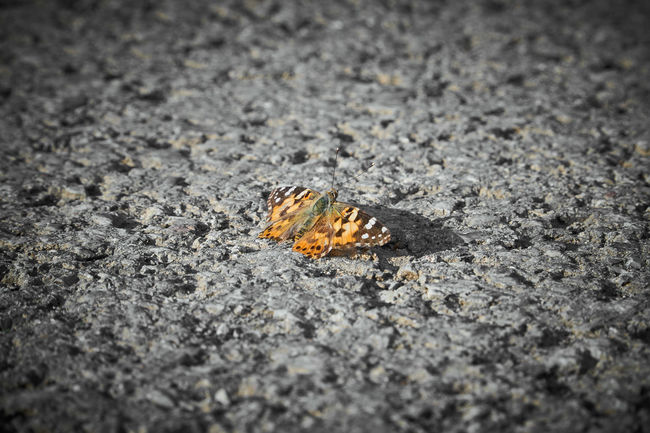 Coloured Butterfly on B/W Road Road Schmetterling Textured  Asphalt Butterfly Butterfly - Insect City Close-up Colour Day Nature No People Outdoors Selective Focus Street Textured