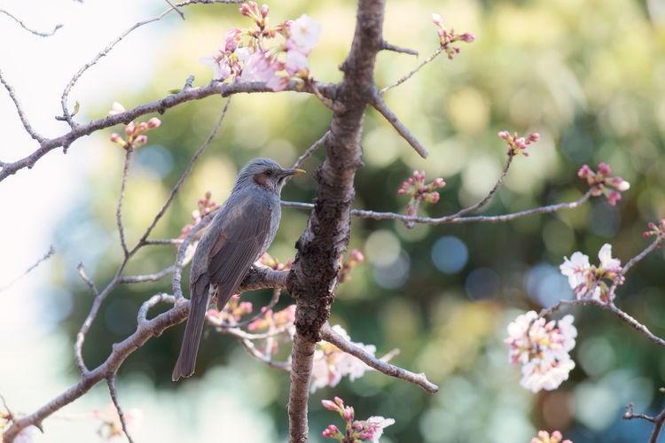 桜 ムクドリの小鳥 Bird
