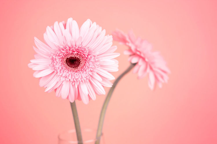 the sweet pink Gerbera flower, romantic moment Beauty In Nature Close-up Colored Background Daisy Flower Flower Head Flowering Plant Fragility Freshness Gerbera Daisy Growth Inflorescence Nature No People Petal Pink Color Plant Plant Stem Pollen Softness Studio Shot Vulnerability