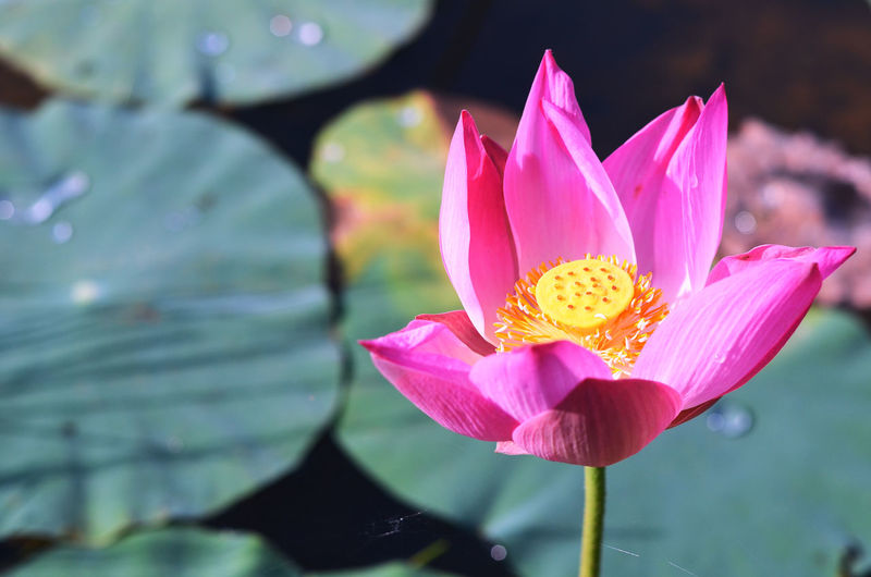 lotus lover Beauty In Nature Close-up Floating On Water Flower Flower Head Flowering Plant Freshness Growth Inflorescence Lily Lotus Water Lily Outdoors Petal Pink Color Plant Pollen Purple Vulnerability  Water Water Lily