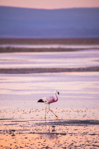 Flamingo at beach during sunset
