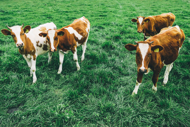 High angle view of calves standing on grassy field