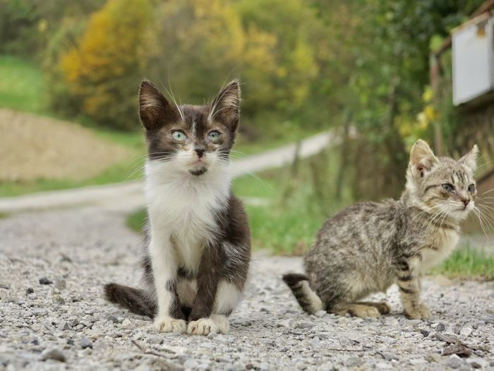 Two kitten sitting on a path to the forest