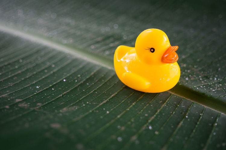 Close-up of wet rubber duck on leaf