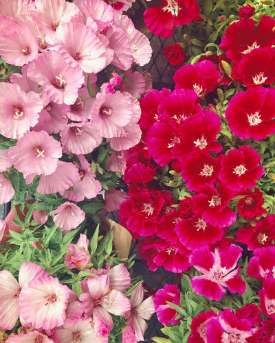 Full frame shot of pink flowers blooming outdoors
