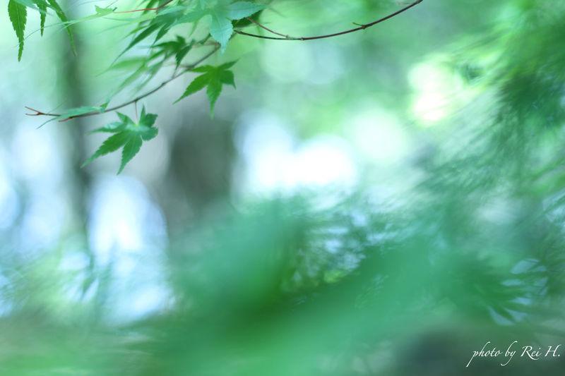Brand New Maple 楓 新緑 単焦点 Mapleleaf Verdure Singlefocus 50mm EyeEm Nature Lover Canon