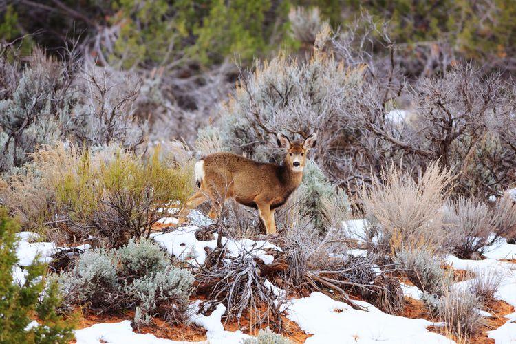young mule deer Mule Deer Animal Baby Animal Utah Snow Animal Themes Wildlife Wild Animal