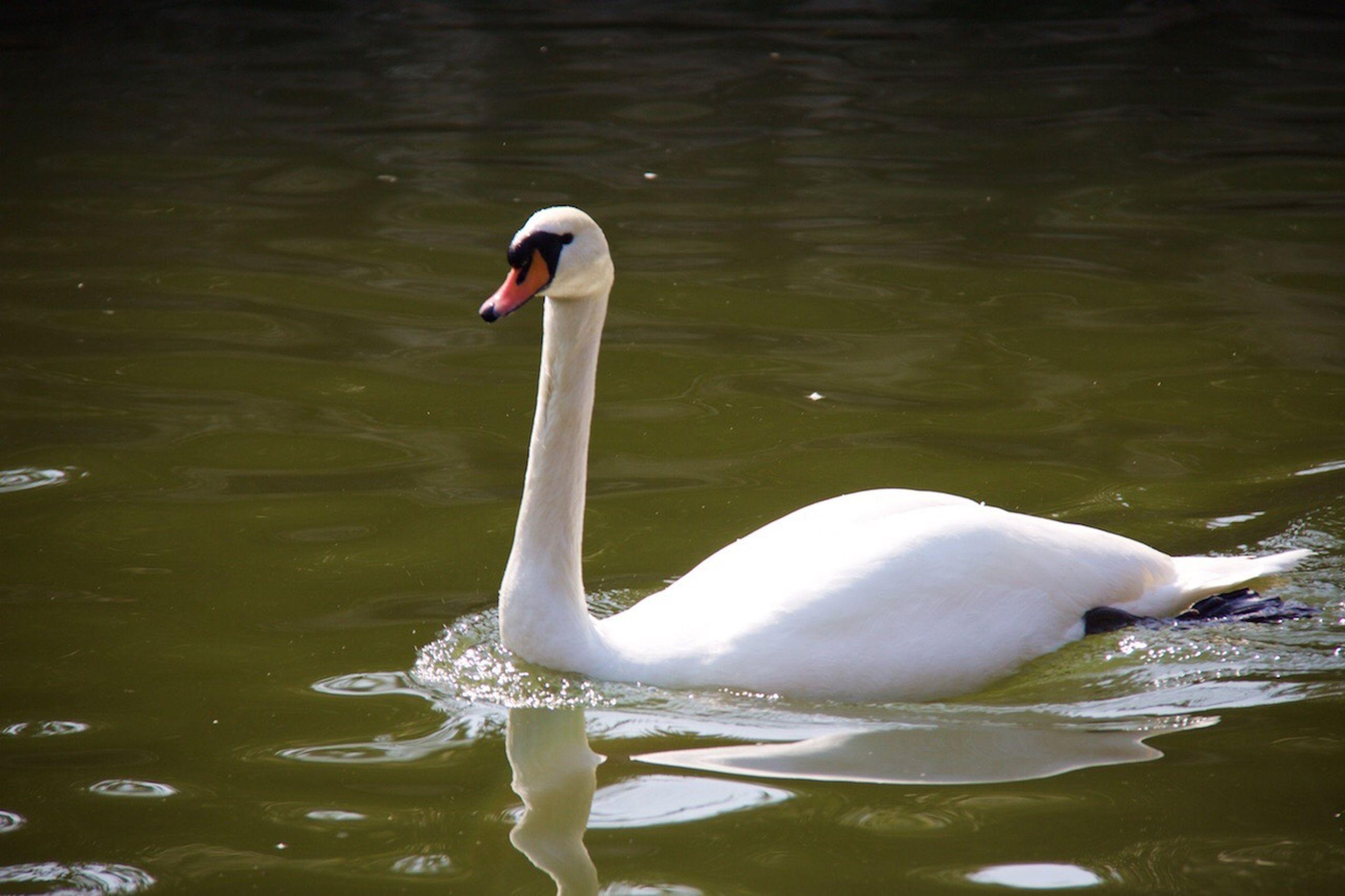 animal themes, bird, water, swan, lake, animals in the wild, swimming, wildlife, waterfront, water bird, reflection, white color, beak, rippled, one animal, animal, two animals, floating on water, nature