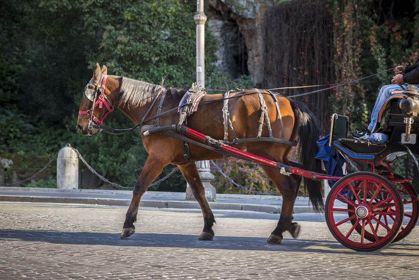 "The roman ""botticella"", one-horse cab for tourists Coach Red Rome Tourist Attraction  Animal Cab Carriage Domestic Domestic Animals Horse Horse Cart Italy Livestock Mode Of Transportation One Animal One Horse Outdoors Transportation Truck Working Animal"
